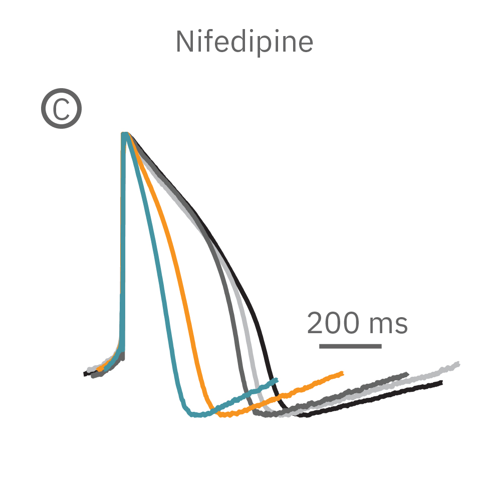 Nifedipine shortened the duration of the LEAP signal in a dose-dependent manner.