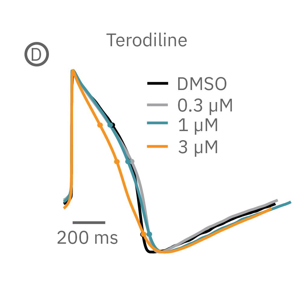 Terodiline induced triangulation at higher concentrations, consistent with patch clamp results.