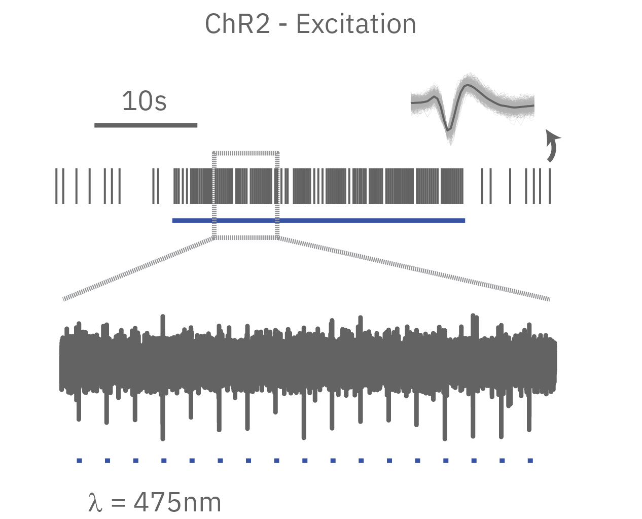 ChR2 Neural excitation