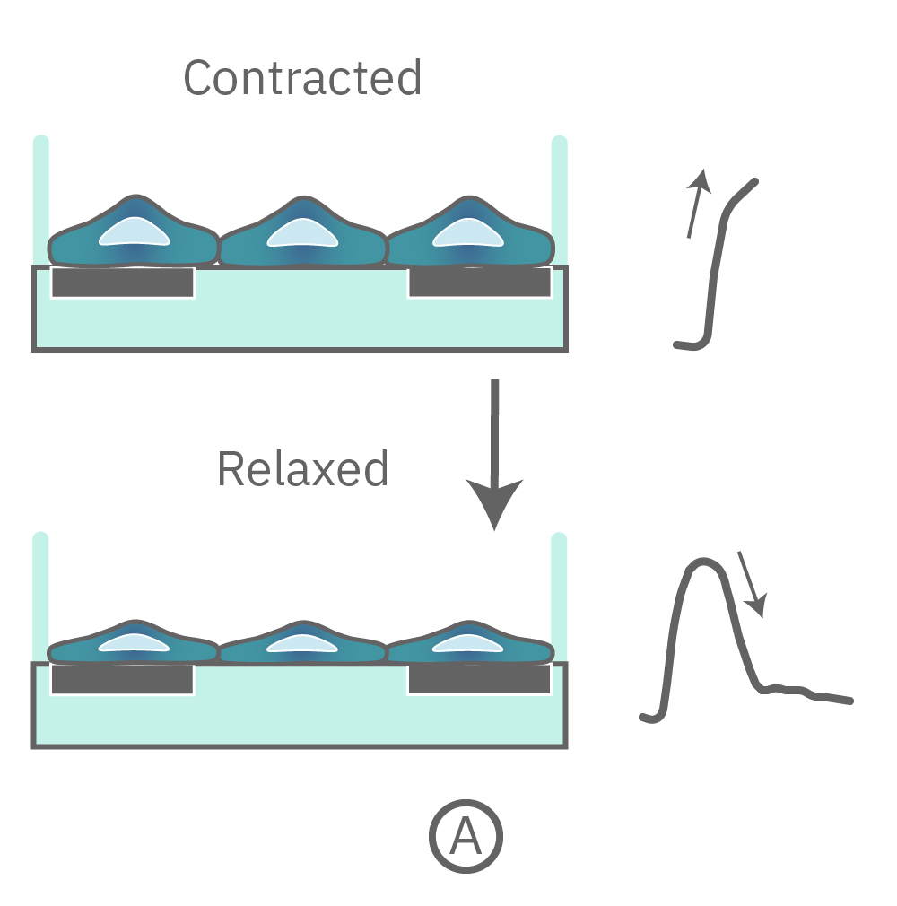 Contraction and relaxation of cells being detected