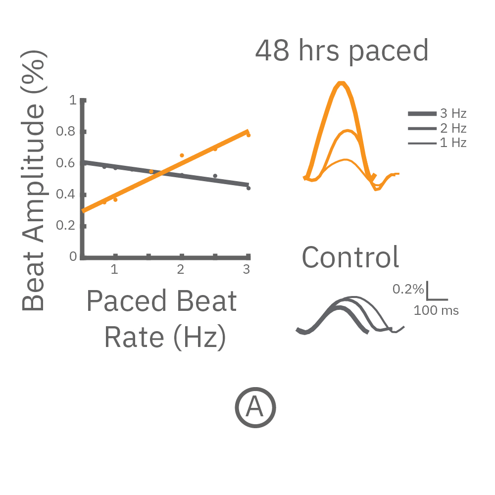 CM's were chronically paces and then paced again to assess the force-frequency relationship