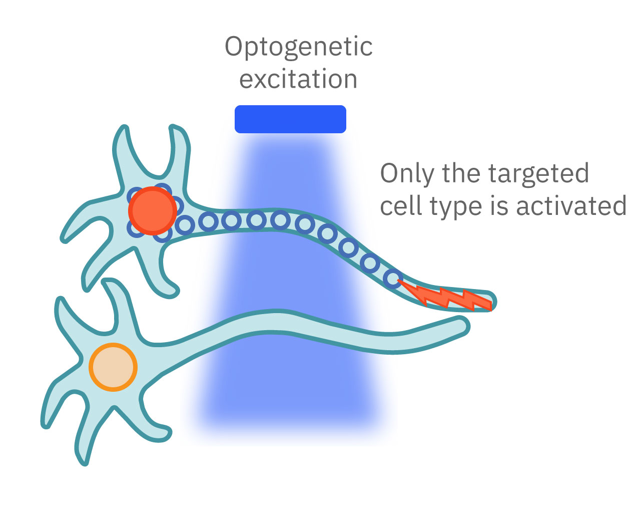 Optogentic activation of blue light neuron only