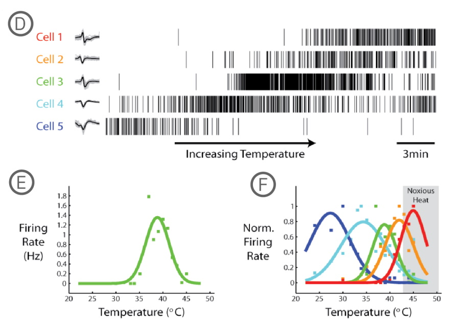 Pain DRG neurons respond to changes in temperature on MEA