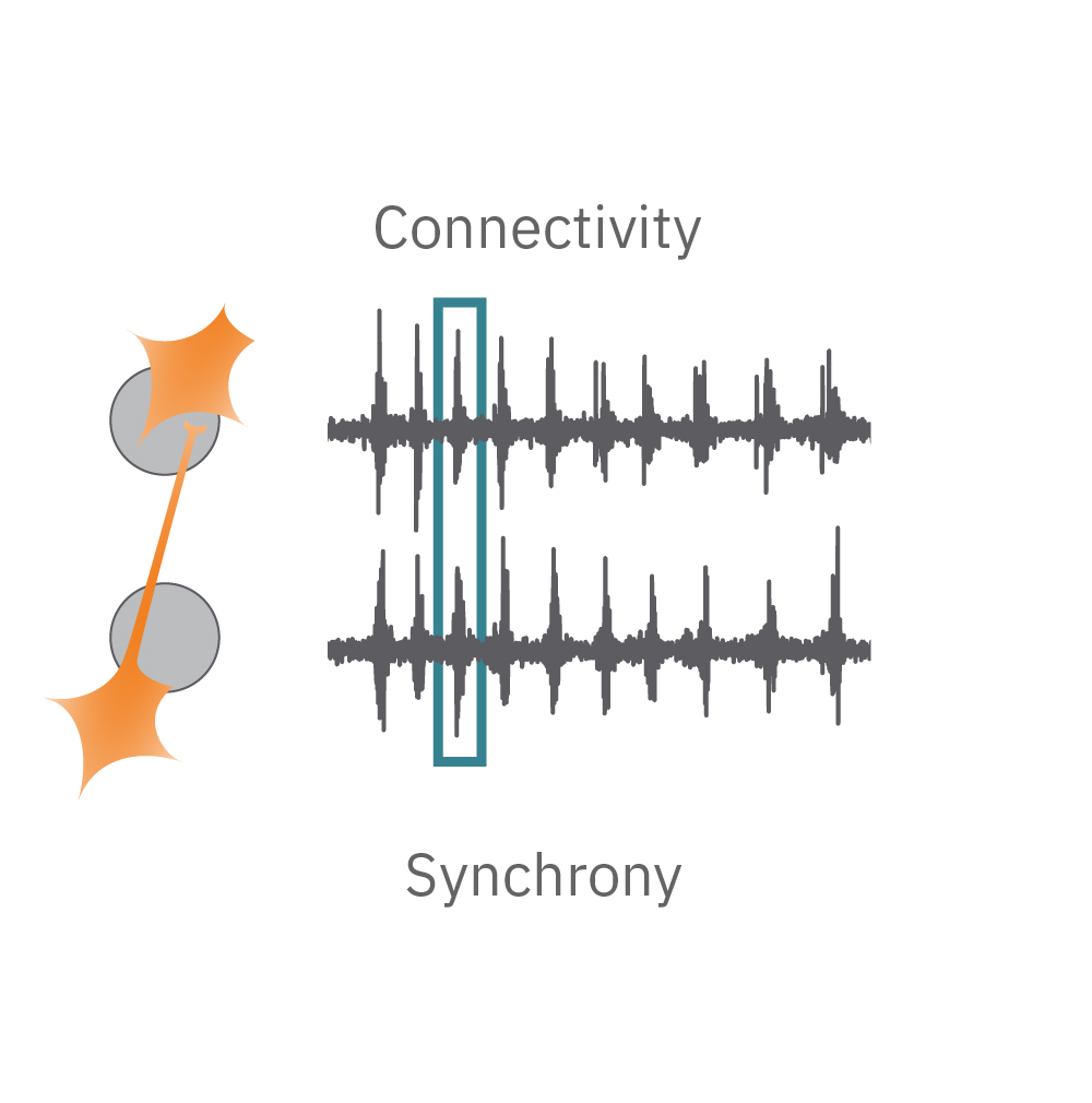 Synchrony reflects the prevalence and strength of synaptic connections, and thus how likely neurons are to generate action potentials simultaneously