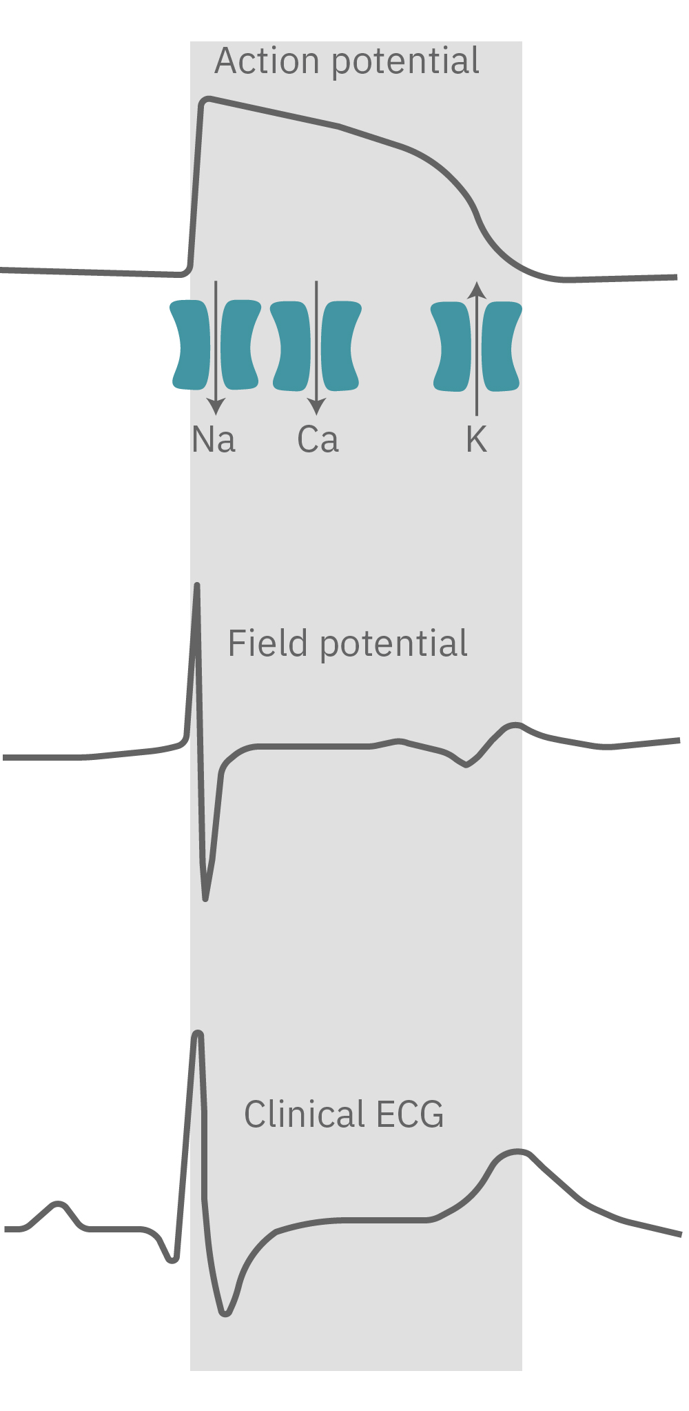 Cardiac Action potential propogates across the cells in the syncytium.