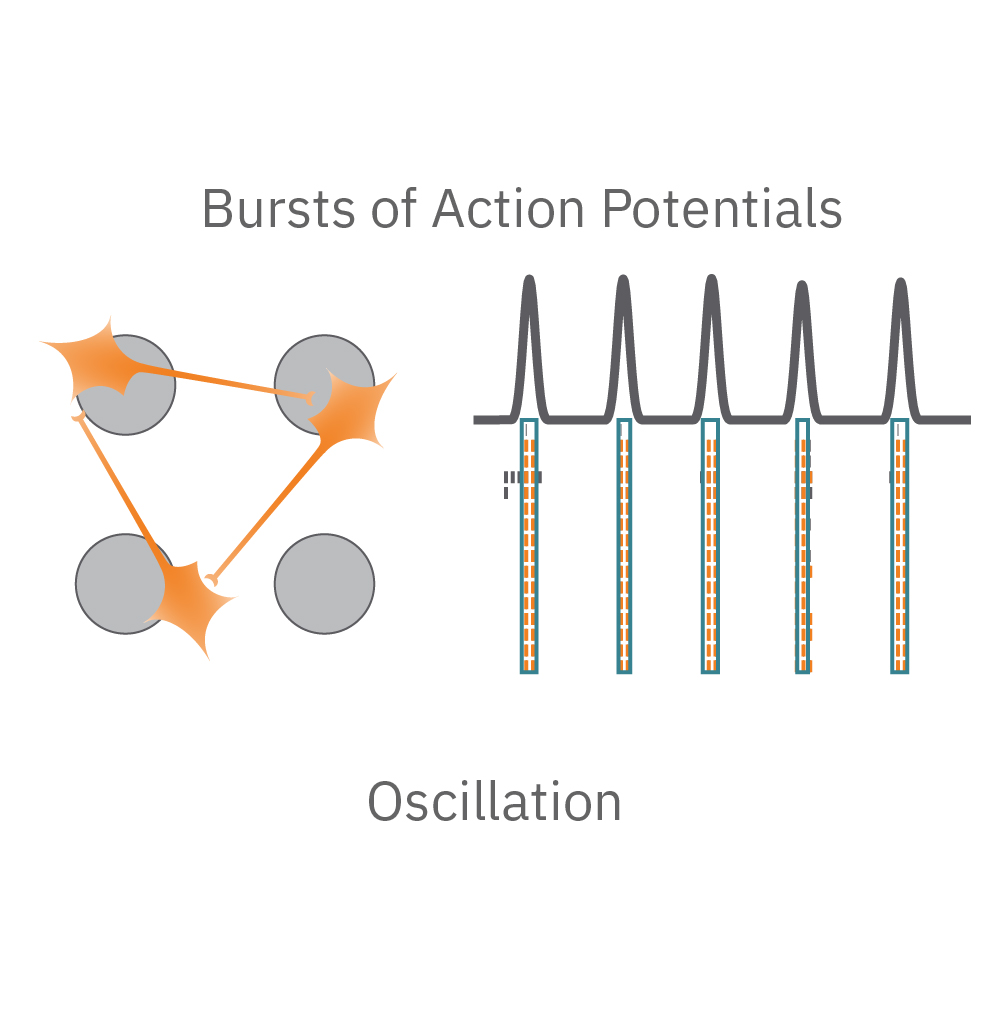 Network oscillations, or network bursting, are defined by alternating periods of high and low activity